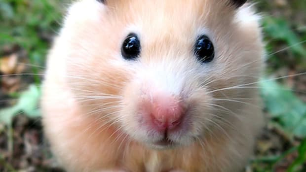 fun-interesting-facts-about-hamsters