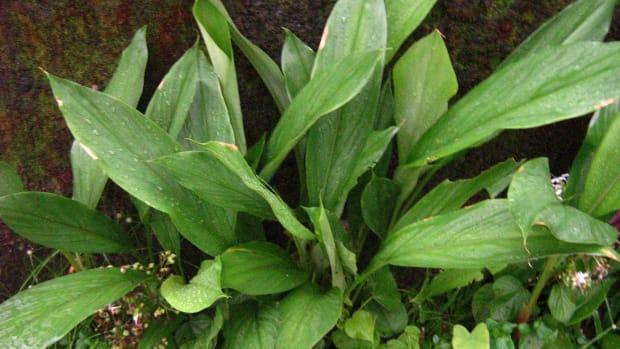 arrowroot-powder-health-benefits-preparation-where-to-buy-arrowroot-powder-is-arrowroot-flour-a-starch