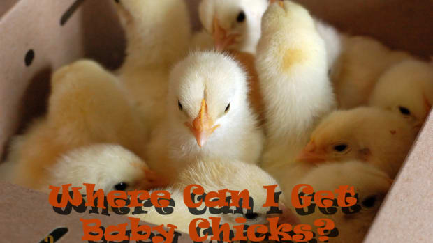 where-can-i-get-baby-chicks-planning-your-backyard-chicken-flock