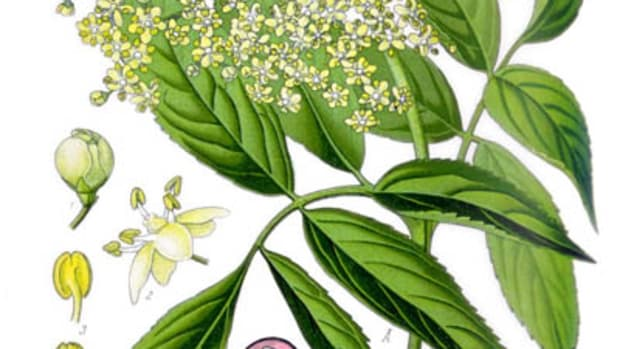 gathering-and-using-elderflowers-to-make-lotions-for-beautiful-skin-and-healing-salves