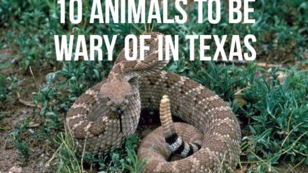 top-10-most-dangerous-animals-in-texas