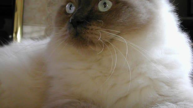 ragdoll-cat-breed