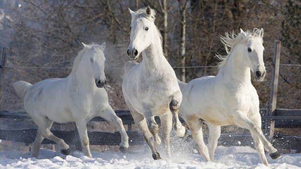 rare-horse-breed-facts-lipizzaner