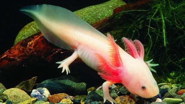 facts-about-axolotl-the-mexican-salamander