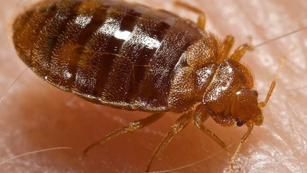 dealing-with-and-killing-cimex-lectularius-the-bed-bugs