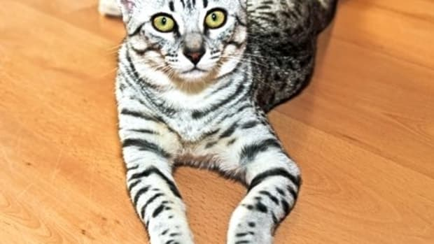 the-egyptian-mau-cat-breed-information-and-care
