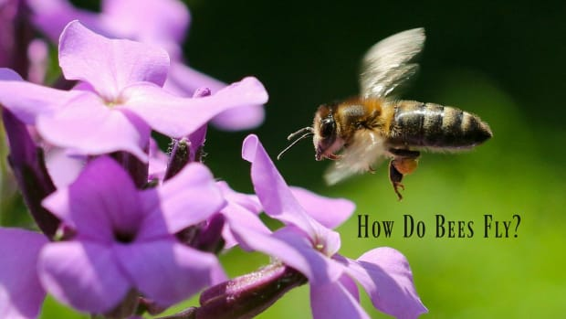 how-do-honey-bees-fly-and-other-facts-about-honey-bee-flight