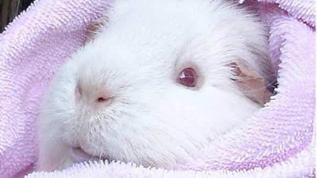 albino-guinea-pigs