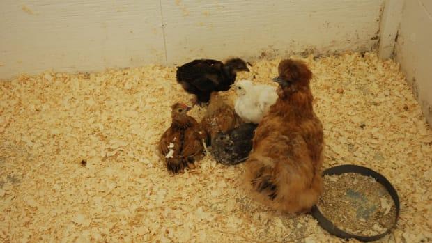 raising-bantam-chickens