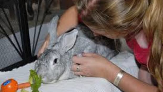 5-chinchilla-facts-must-for-chinchilla-owners