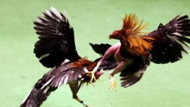 illegal-cockfighting-in-america-a-rough-life-for-a-rooster