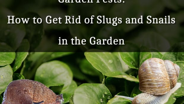 garden-pests-how-to-get-rid-of-slugs-and-snails-in-the-garden