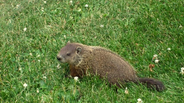 woodchuck-whistle-pig-land-beaver-everything-you-ever-wanted-to-know-about-groundhogs