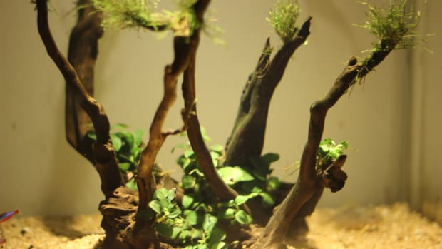 how-to-use-anubias-petit-on-driftwood