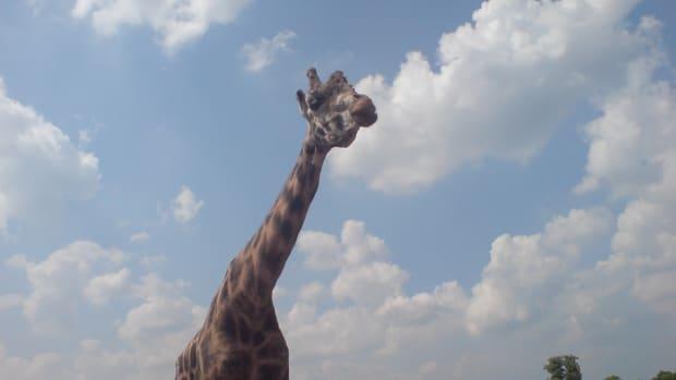 the-long-neck-of-a-giraffe