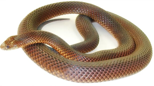 top-10-most-dangerous-snakes-in-australia