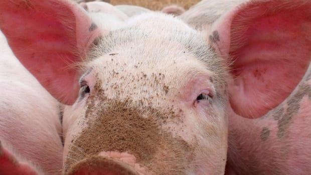 swine-foods