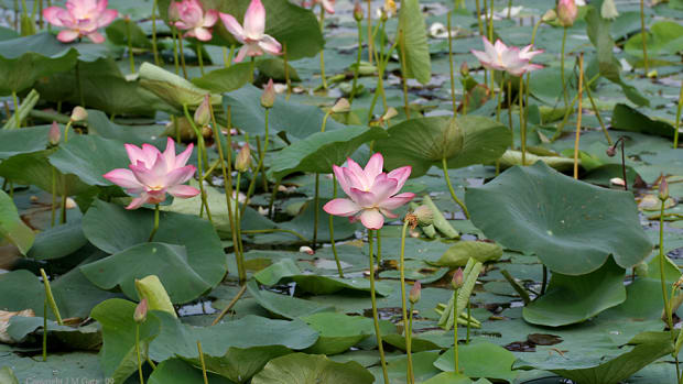 interesting-facts-about-the-lotus-plant