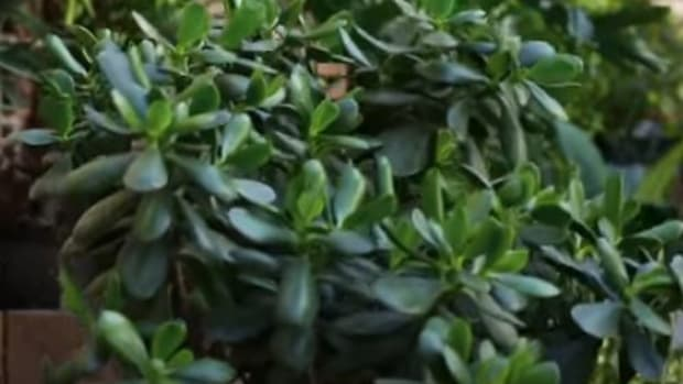 health-and-monetary-benefits-of-jade-plant-crassula-ovata