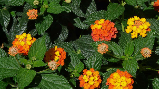 lantana-camara-an-invasive-alien-species-and-a-silent-killer