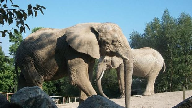 zoo-elephant-controversy-seattle-times