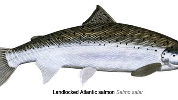 catching-maines-landlocked-salmon