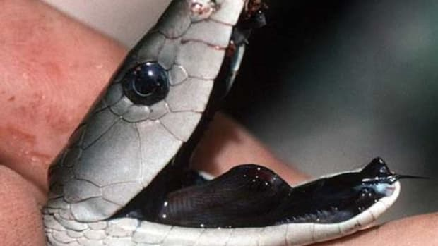 black-mamba-snake-bites-venom-images-and-information