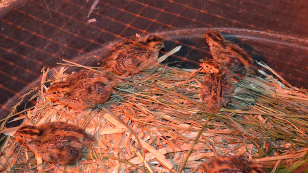how-to-raise-quail-on-an-urban-farm