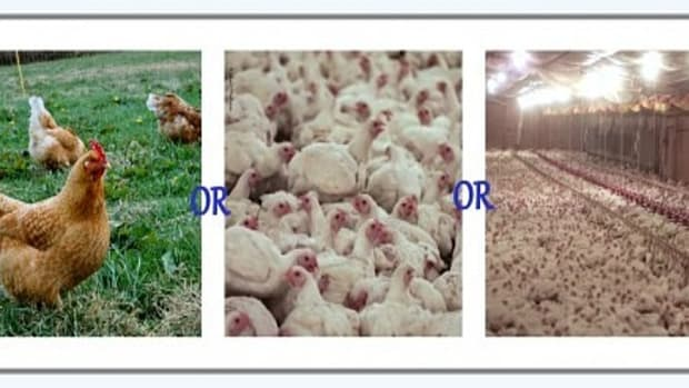 spotlight-on-the-truth-about-humanely-raised-cage-free-chicken-farms-perdue-and-contractors-for-perdue
