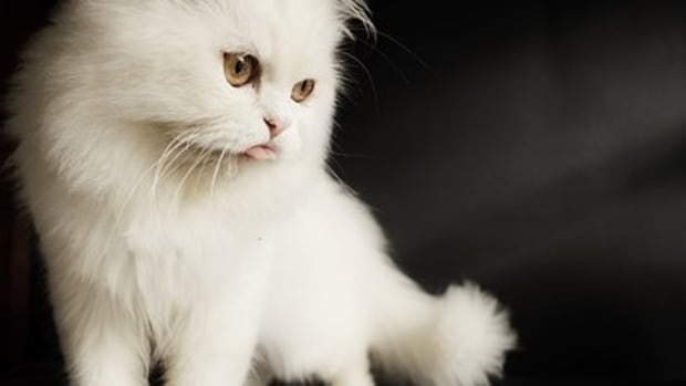 20-names-for-persian-cats-from-persian-mythology