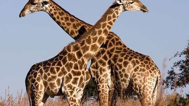 giraffe-facts-fun-animal-facts-for-kids