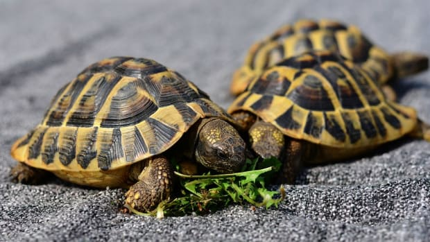 pet-tortoise-types