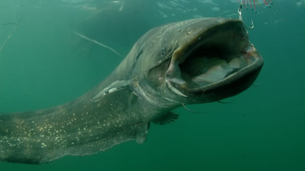 wels-catfish-interesting-facts