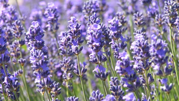 lavender-herb-of-the-month-for-february