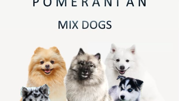 top-15-most-popular-pomeranian-mix-dogs
