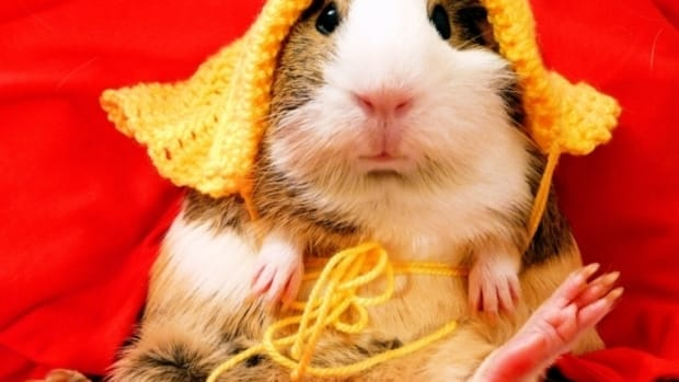 guinea-pig-sounds-and-what-they-mean