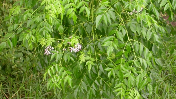 melia-azedarach-meliaceae