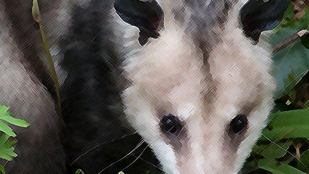 carmen-possum-latin-humor