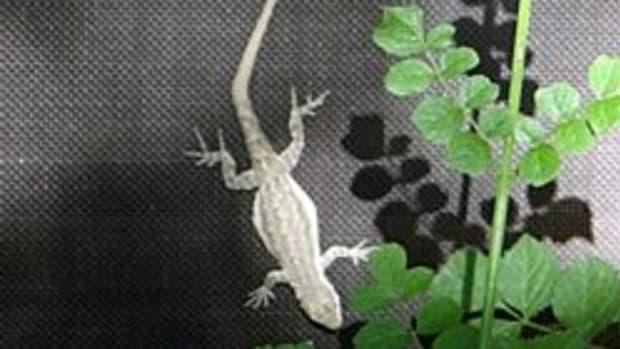 gecko-lizard