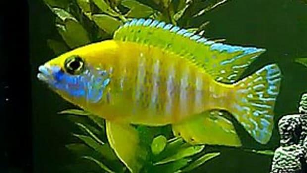 maleri-sunshine-peacock-cichlid