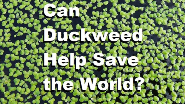 can-duckweed-help-save-the-world