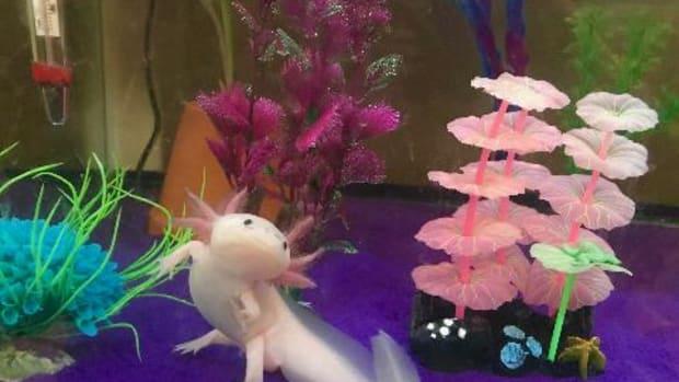 the-basics-of-axolotl-care