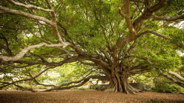 nethanaels-fig-tree
