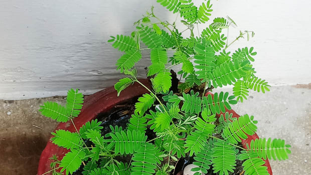 benefits-of-the-shami-tree-prosopis-cineraria-myth-or-reality