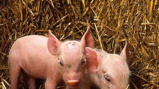 fun-facts-about-pigs