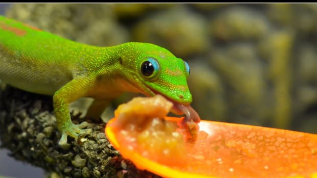 phelsuma-gecko-species-commonly-available-as-pets