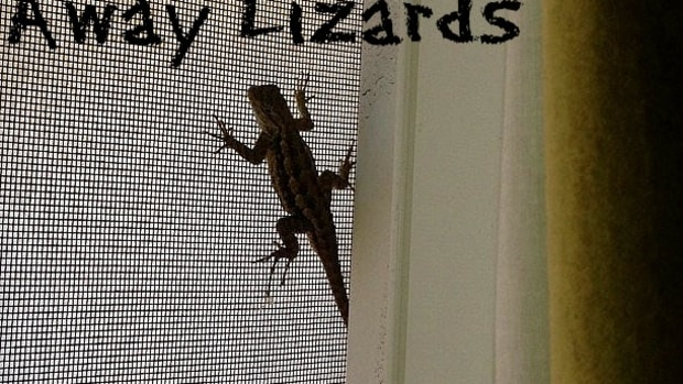 how-to-chase-lizards-away-without-killing-them