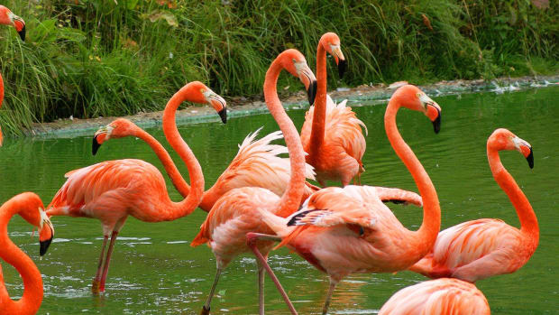 why-are-flamingos-pink