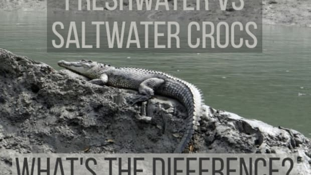 main-differences-between-freshwater-and-saltwater-crocodiles