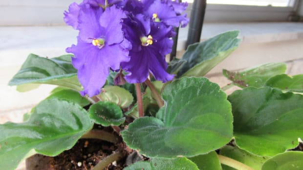 caring-for-african-violets-tips-and-ideas
